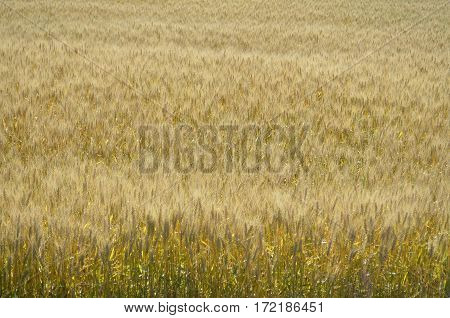 Mature crop of golden grain wheat in a farmland field and ready for harvest in the summer