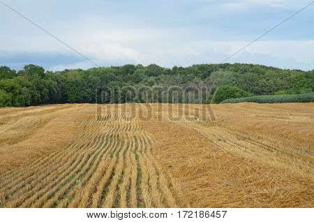 Freshly harvested crop of wheat in a farmland field on a cloudy summer day