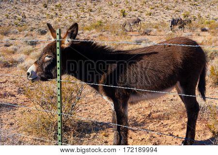 Wild Burros in Desert of Nevada USA.