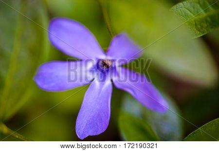 Blue vinca flower in spring. Close up.