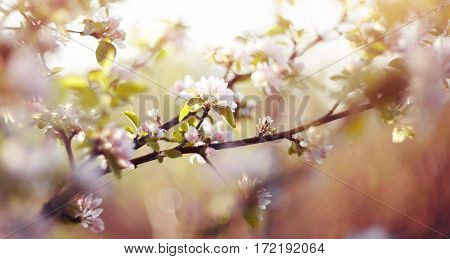 Blossoms of an apple tree in the spring.