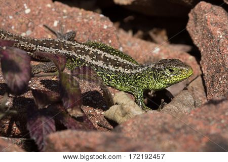 Sand Lizard (Lacerta agilis) basking on red tiles