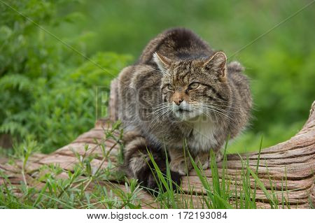 Scottish Wildcat (Felis silvestris grampia) on large tree trunk