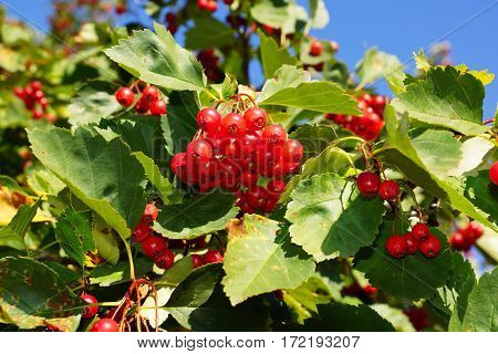 Hawthorn berries. Ripe red berries of hawthorn on branch.