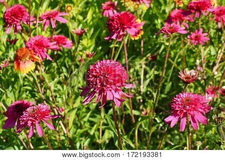 Blooming echinacea in the summer garden. Sunny day.