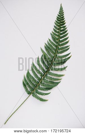 Green fern frond on a white background