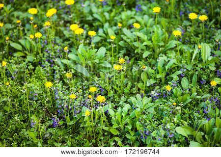 Yellow dandelion (Taraxacum) and blue alehoof (Glechoma hederacea) flowers in the green spring meadow.