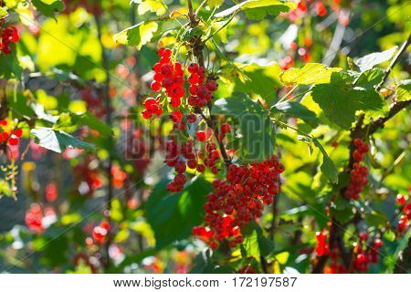 Red currant berries on the green branches in a sunny day.