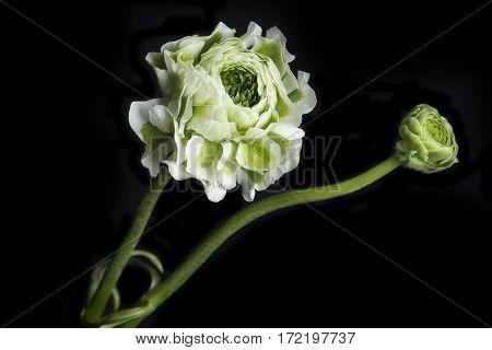 Ranunculus flower closeup isolated on black background