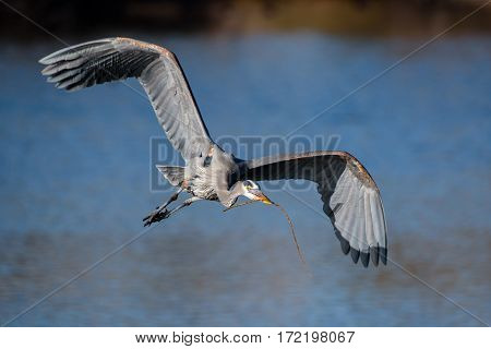 Great Blue Heron delivering a stick to the nest.