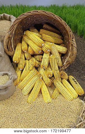 Big Bunch of Maize Corn Ears in Basket