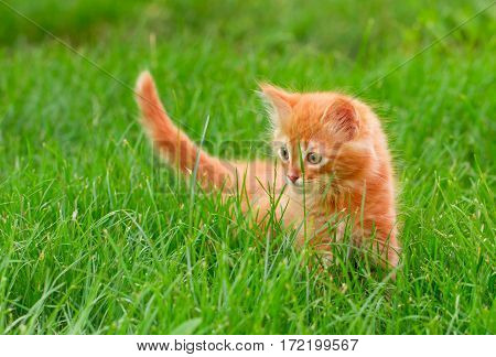 Cat In The Green Grass In Summer. Beautiful Red Kitty With Green Eyes