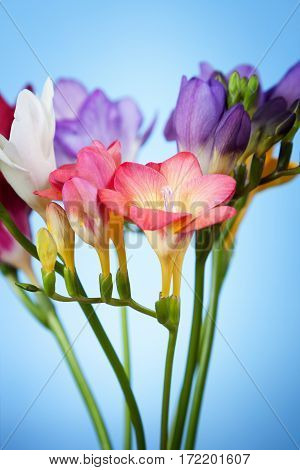 Beautiful flowers of freesia on a blue background