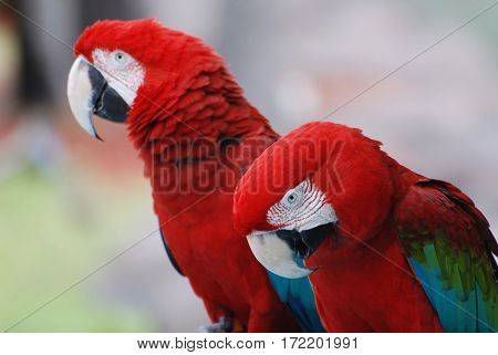 Pair of scarlet macaw bird sitting side by side.