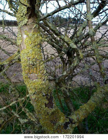 Lichen in hawthorn hedgerows. Xanthoria parietina. Maritime sunburst lichen