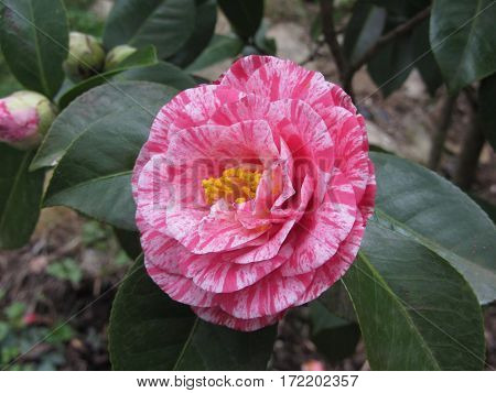 Single red streaked white flower of Camellia japonica