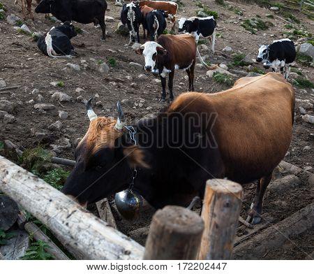 Cows in a pen in the Ukrainian Carpathians.