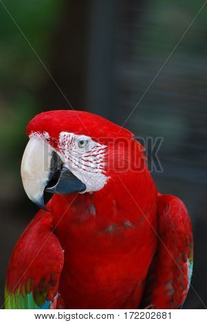 A close up look at a scarlet macaw bird.