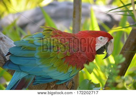Palm tree with a scarlet macaw nestled in the bough.