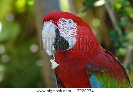 Pretty red scarlet macaw eating some bread.