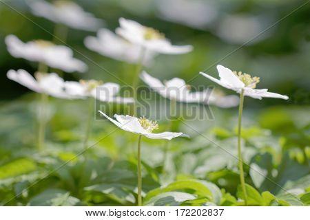 Group of wood anemone side view. Latin name: Anemone nemorosa. Short depth of focus