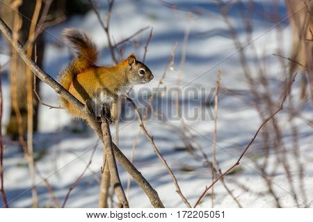 Red squirrel (Tamiasciurus hudsonicus) standing on a branch in winter.