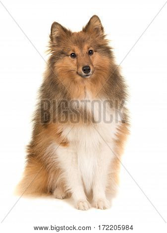 Adult shetland sheepdog sitting seen from the front facing the camera isolated on a white background