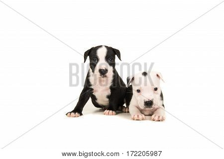 Two cute 5 weeks old black and white stafford terrier puppy dogs one sitting down and one lying down isolated on a white background