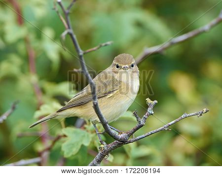 Common Chiffchaff resting on a branch in its habitat