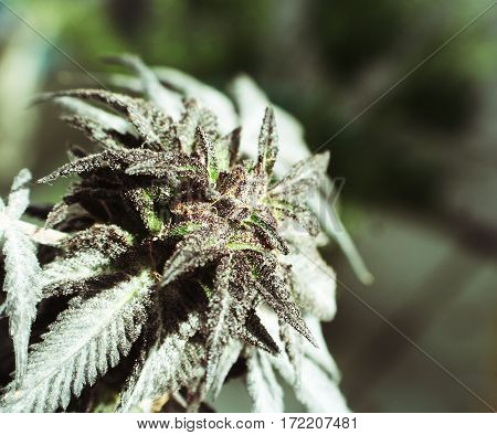 Marijuana Plant Close Up High Quality Stock Photo
