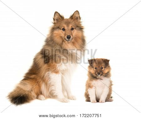Shetland sheepdog adult and puppy sitting next to eachother facing the camera isolated on a white background