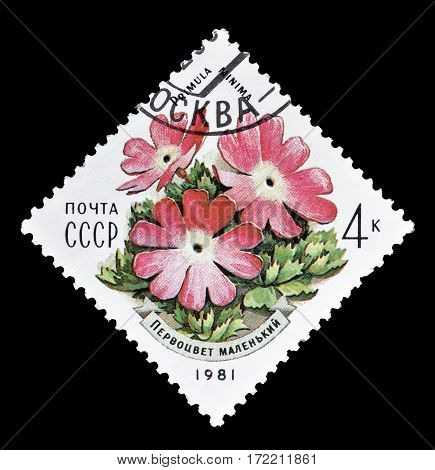 SOVIET UNION - CIRCA 1981 : Cancelled postage stamp printed by Soviet Union, that shows Primula Minima flower.