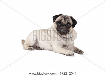 adorable cute pug puppy dog lies down on floor seen sideways isolated on white background