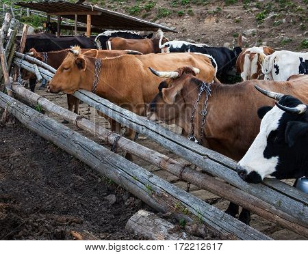 Cows in a pen in the Ukrainian Carpathians.