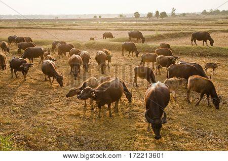Buffalo Eating