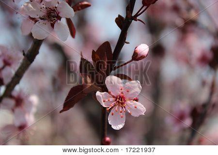 Pink Tree Blossom Closeup