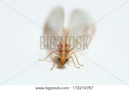 Macro photo of Chrysoperla carnea - lacewing general