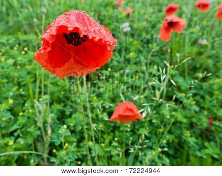 Closeup of red poppy flowers on a green field after rain