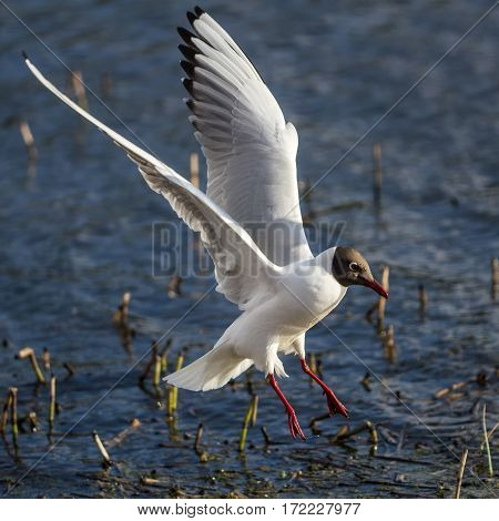 Black-headed Gull sits on the water. Wings are extended back.