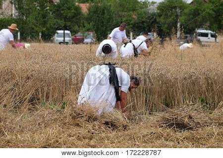TRNOVEC, CROATIA - JULY 09, 2016: Peasant woman harvesting wheat with scythe in wheat fields in Trnovec, Croatia on July 09, 2016