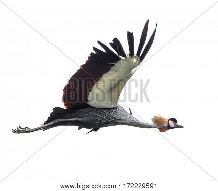 A beautiful bird Crowned Crane.