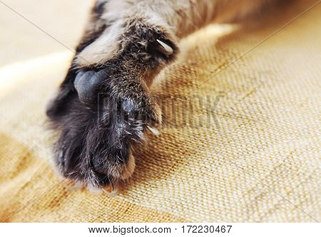 Stretched cat's paw with claws close up