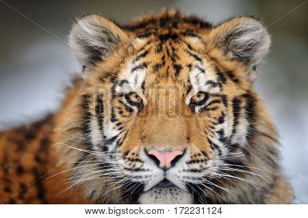 Tiger Portrait. Aggressive Stare Face. Danger Look.