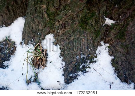 old wood tree bark texture with green moss. Grass makes its way through the snow.