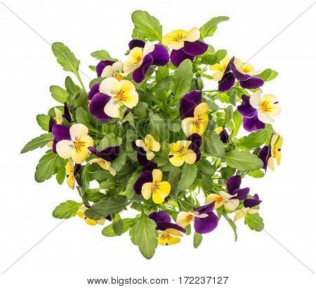 Pansy flowers top view isolated on white background. Violet and yellow spring viola