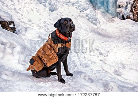 Mountain rescue black young Labrador Retriever dog with life vest during a snowy day. The Labrador is one of the most popular breeds of dog in the United Kingdom and the United States.