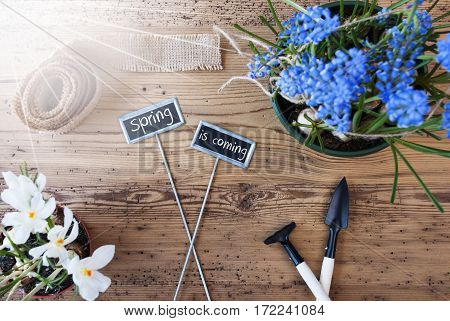 Two Signs With English Text Spring Is Coming. Sunny Spring Flowers Like Grape Hyacinth And Crocus. Gardening Tools Like Rake And Shovel. Hemp Fabric Ribbon. Aged Wooden Background