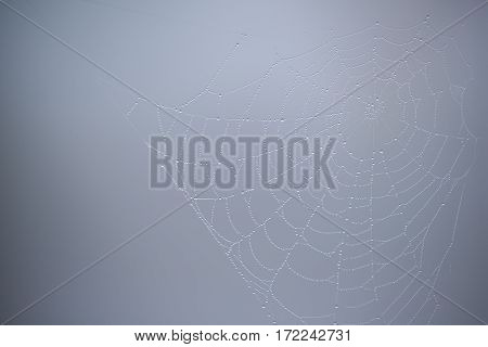 Spider web with water droplets on gray background