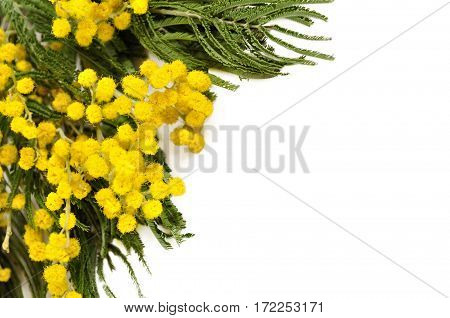Mimosa flowers isolated on white - spring background with mimosa flowers on the white. Closeup of mimosa flowers. Focus at the mimosa flowers. Nature view of mimosa flowers