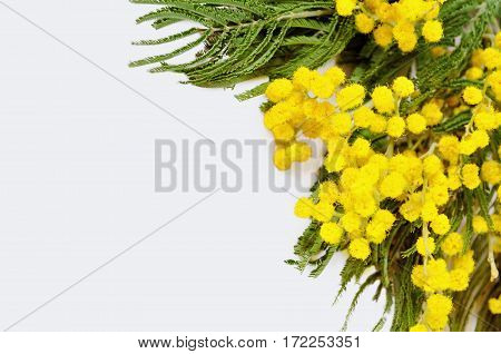 Spring background. Mimosa spring flowers isolated on white background - spring background with mimosa flowers. Closeup of yellow fluffy mimosa flowers, spring background poster